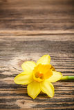 Yellow jonquil flower. On rustic wooden background royalty free stock photos