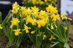 Yellow jonquil flowers. Close up of Yellow jonquil flowers royalty free stock images