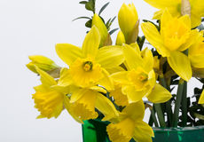 Yellow jonquil flowers. Isolated on white background royalty free stock images