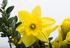 Yellow jonquil flowers. Isolated on white background stock photo