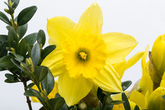 Yellow jonquil flowers. Isolated on white background stock images
