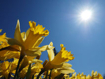 Free Yellow Jonquils On A Spring Morning In Sunshine Stock Photo - 38803130