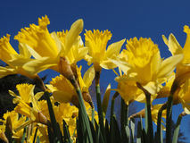 Yellow Jonquils on a spring morning in sunshine Stock Photo