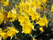 Yellow Jonquils on a spring morning in sunshine. (Narcissus jonquilla). The Jonquil is one of the first flowering plants to appear in the spring, and is a Royalty Free Stock Photo
