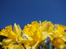 Yellow Jonquils on a spring morning in sunshine Royalty Free Stock Photography