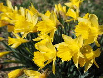 Yellow Jonquils on a spring morning in sunshine. (Narcissus jonquilla). The Jonquil is one of the first flowering plants to appear in the spring, and is a Royalty Free Stock Image