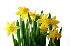 Yellow jonquils in a white background. Many yellow jonquils in a white background Stock Photography