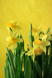 Yellow jonquils in yellow. Yellow narcissuses on a yellow background Stock Photos