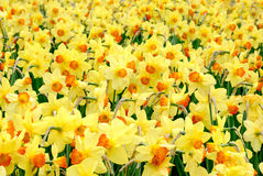 The yellow joy of springtime Royalty Free Stock Photos