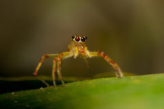 Yellow jumper spider Royalty Free Stock Photos