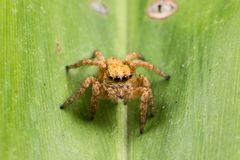 Yellow jumping spider on a green leaf Stock Photography