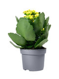 Yellow Kalanchoe Royalty Free Stock Images