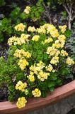 Yellow Kalanchoe blossfeldiana flower Stock Image