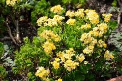 Yellow Kalanchoe blossfeldiana flower Royalty Free Stock Image