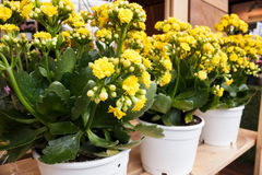 Yellow Kalanchoe blossfeldiana in flowerpot Royalty Free Stock Image