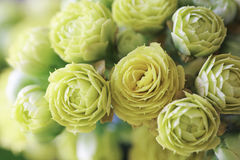 Yellow Kalanchoe Close Up. Yellow Kalanchoe flowers close-up Royalty Free Stock Photos