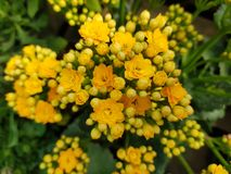Yellow kalanchoe flower. Nature, plant, green, color, petals, natural, garden, outdoor royalty free stock image