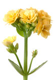 Yellow kalanchoe flowers macro flower. Isolated Royalty Free Stock Photo