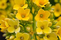 Yellow Kalanchoe / Succulent Royalty Free Stock Photos
