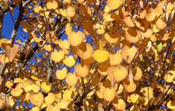 Yellow Katsura Tree Leaves Royalty Free Stock Photos
