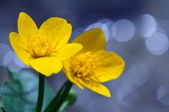 Yellow Kingcup Flower Stock Photos