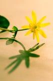 Yellow kingcup Stock Image