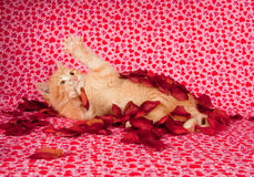 Yellow Kitten And Rose Petals Royalty Free Stock Photo