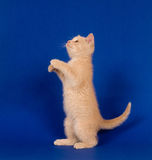 Yellow kitten begging on blue Stock Photo