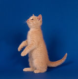 Yellow kitten begging on blue Royalty Free Stock Photography