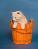 Yellow kitten in a bucket Royalty Free Stock Photo