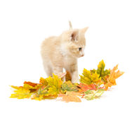 Yellow kitten and fall leaves stock photo