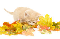 Yellow kitten and fall leaves Royalty Free Stock Photo