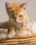 Yellow kitten with healed injury in basket Stock Photos
