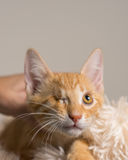 Yellow Kitten with healed injury looking up Royalty Free Stock Photo