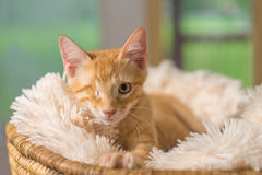 Yellow kitten with healed injury lying in basket Stock Photos