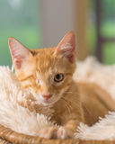 Yellow kitten with healed injury lying down in white blanket Royalty Free Stock Photos