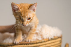 Yellow Kitten with healed injury to eye in basket Stock Photos