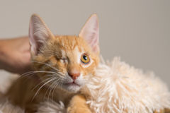 Yellow kitten with healed injury to eye looking up Stock Images