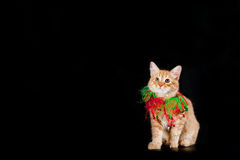 Yellow Kitten Isolated on Black Royalty Free Stock Photo