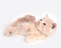 Yellow kitten playing Royalty Free Stock Photography
