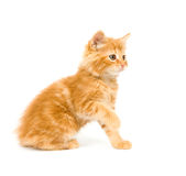 Yellow kitten playing Stock Image