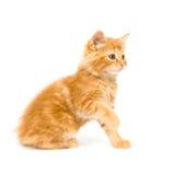 Yellow Kitten Playing Stock Image