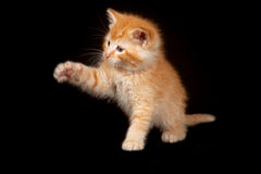 Yellow Kitten Playing Stock Images