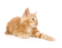 Yellow kitten ready to play Royalty Free Stock Image