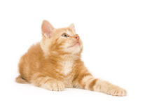 Yellow kitten ready to play Royalty Free Stock Images