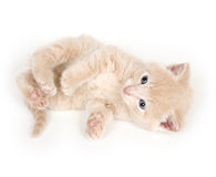 Yellow kitten rolling over Royalty Free Stock Image