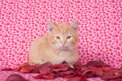 Yellow kitten and rose petals for valentines day Stock Images