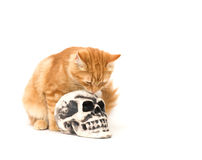 Yellow kitten and skull Royalty Free Stock Images