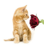 Yellow kitten sniffing flower Royalty Free Stock Images
