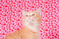 Yellow kitten on valentines background Stock Photography